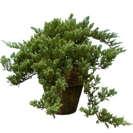 Tùng Tuyết,Tuyết Tùng,cây Tùng,Hương bách,Cedrus,bonsai,cây cảnh đẹp,Tùng Tuyết (Tuyết Tùng)