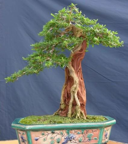 Cây Sam,cây Sam núi,cây Linh Sam,Linh Sam,bonsai,cây cảnh đẹp,Cây Sam núi ( Linh Sam )