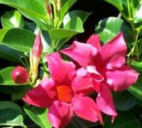 hoa trang đài,trang đài,hoa cảnh,cây cảnh,các loài hoa đẹp,Hoa trang đài