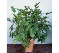 Trầu bà tay phật,trau ba tay phat,cây nội thất,Philodendron selloum,cây họ ráy,trầu bà,trau ba,Trầu bà tay phật ( Philodendron selloum )