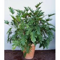 Trầu bà tay phật ( Philodendron selloum )