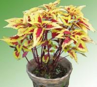 Lá gấm vàng,tía tô cảnh,Acanthaceae,cây nội thất,cây cảnh,hoa cảnh,Lá gấm vàng ( Tía Tô cảnh )