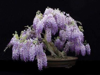 hoa tử đằng,sắn tía,đậu tía,Wisteria sinensis,wisteria,Fabaceae,hoa tình yêu,Nhật Bản,Hoa Tử Đằng