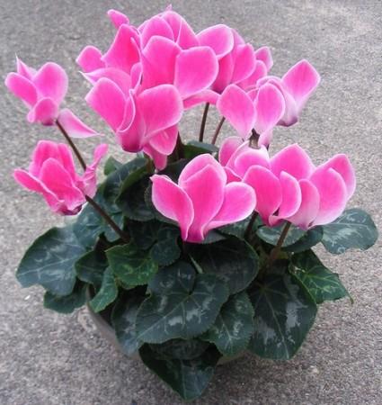 Hoa sen cạn,cây sen cạn,sen cạn,Hạn hà thảo,Hà diệp liên,Kim liên,Hoa sen cạn