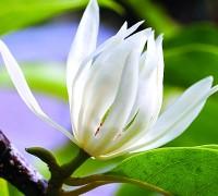 Hoa ngọc lan,bạch ngọc lan,hoàng lan,mộc lan,hoa lan,sự tích hoa ngọc lan,phong lan,hoa,cây cảnh,Michelia alba,Michelia champaca,Magnoliaceae,Hoa Ngọc Lan