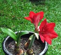 Loa kèn đỏ,hoa loa kèn,huệ đỏ,huệ nhung,huệ tây,Amaryllidaceae,Hoa Loa kèn đỏ (Huệ đỏ, huệ nhung)