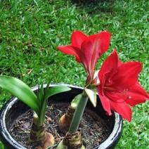 Hoa Loa kèn đỏ (Huệ đỏ, huệ nhung)