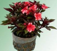 Mai địa thảo,mai dạ thảo,mai dia thao,hoa mai,Impatiens walleriana,bóng nước,Balsaminaceae,hoa ngày Tết,Mai địa thảo (Mai dạ thảo)
