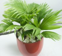Cây cọ Nhật,cọ Nhật,cây cọ,Arecaceae,cây nội thất,Licuala grandis,Arecaceae,Cây Cọ Nhật