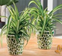 Cây Nhện,Lục thảo trổ,Cỏ mệnh môn,Luyến khách,Spider plant,Chlorophytum comosum,Cây Nhện