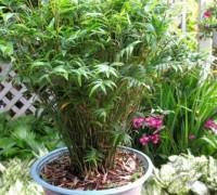 Cây Trúc tiêu,trúc tiêu,Phyllostachys,cây phong thủy,cây may mắn,Cây Trúc tiêu