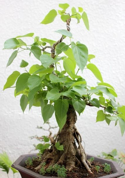 Cây bồ đề,cay bo de,cây đề,cây giác ngộ,Ficus Religiosa,Cây bồ đề