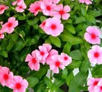 Hoa dừa cạn,hải đằng,dương giác,bông dừa,trường xuân hoa,hoa nhật thảo,hoa đồng hồ,họ trúc đào,Apocynaceae,Catharanthus roseus,Vinca rosea L,cây thuốc nam,cây y học,Hoa dừa cạn