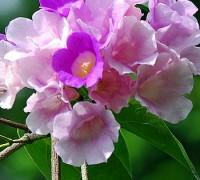 Cây hoa tỏi,lan tỏi,lý thái lan,thiên lý tỏi,ánh hồng tím,hoa bâng khuâng,Pachyptera hymenaea,Bignoniaceae,Bignonia floribunda Hort,Cây hoa tỏi