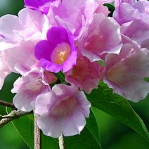 Cây hoa tỏi