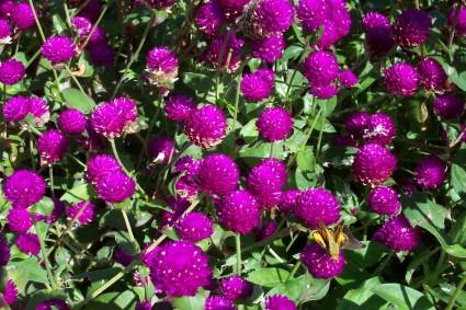 Hoa cúc Bách Nhật,Cúc Pha Lê,hoa cúc,hoa bách nhật,hoa pha lê,Gomphrena globosa,Amaranthaceae,họ Rau dền,châu Á,Ấn Độ,Hoa cúc Bách Nhật ( Cúc Pha Lê )