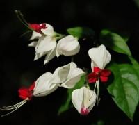 Hoa ngọc nữ,hoa ngoc nu,rồng nhả ngọc,tố nữ,lồng đèn,trinh nữ,Clerodendrum thomsoniae,Clerodendrum,họ hoa môi,cỏ roi ngựa,verbenaceae,lamiaceae,labiatae,Hoa ngọc nữ