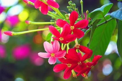 Sử quân tử,hoa sử quân tử,su quan tu,cây dây giun,cây quả giun,cây quả nấc,trang leo,cây trang leo,cây trang dây,Quisqualis indica L,Semen Quisqualis,Combretaceae,Sử quân tử