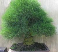 Cây Phi Lao,Phi Lao,cây Dương,Dương liễu,Casuarinaceae,Fagales,cây bonsai,Cây Phi Lao