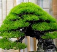 Cây Thông,cây Giáng Sinh,cây Thông Giáng Sinh,cây thông Noel,Pinus,Pinaceae,Pinoideae,cây bonsai,bonsai,Cây Thông
