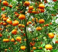 Cây quýt,quýt cảnh,quýt hồng,quýt tiều,quýt đường,cây ngày Tết,cây phong thủy,Citrus reticulata Blanco,Citrus,Rutaceae,Cây quýt