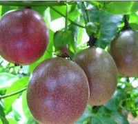 Chanh dây,chanh leo,chùm bao trứng,cây mắc mát,cây mát mát,lạc tiên,cây chanh,quả chanh,Passiflora incarnata,Passiflora edulis,Passiflora,Chanh dây (Chanh leo)
