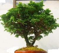 Trắc xoăn,cây trắc xoăn,trắc xoắn,tran xoan,cay trac xoan,hinoki,Chamaecyparis tempelhof,hoàng đàn,Cupressaceae,Cây Trắc xoăn