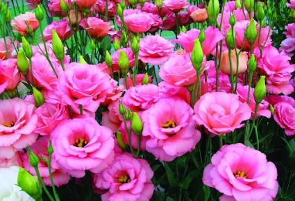 Hoa Cát tường,hoa cat tuong,cát tường,hoa lan tường,hoa lan tuong,lan tường,cat tuong,hoa tình yêu,y nghia cua hoa cat tuong,hoa tình yêu,hoa may mắn,Eustoma russellianum,Eustoma grandiflorum,họ Long Đởm,Gentianaceae,Cát Tường - Lan Tường