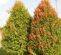 Cây hồng lộc,cay hong loc,hồng lộc,hong loc,Syzygium campanulatum,Syzygium oleinum,họ Sim Myrtaceae,Hồng Lộc
