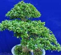 Cây bùm sụm,cay bum sum,bùm sụm,bum sum,chùm rụm,chum rum,cườm rụng,cuom rung,Carmona microphylla,Ehretiaceae,Cây bùm sụm
