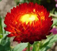 Hoa bất tử,hoa bat tu,bất tử,hoa cúc bất tuyệt,cúc bất tuyệt,hoa cúc,hoa tình yêu,Xerochrysum bracteatum,Asteraceae,Hoa bất tử
