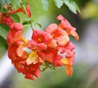 Hoa lan tiêu,lan tiêu,lan tieu,hoa lan tieu,hoa đăng tiêu,hoa dang tieu,hoa nữ uy,hoa lăng tiêu,Campsis grandiflora,họ Núc Nắc,cây hoa,Lan Tiêu