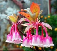 Hoa đào chuông,hoa dao chuong,đào chuông,dao chuong,đỗ quyên,Ericcaceae,Ericales,cây hoa,hoa đẹp,Magnoliopsida,Bà Nà,Bà Nà Hill,Đà Nẵng,Hoa đào chuông