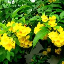 Hoa chuông vàng