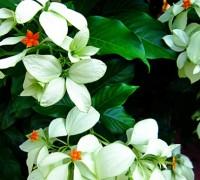 Cây bướm bạc,cay buom bac,bướm trắng,cây hoa bướm,bươm bướm,ngọc diệp kim hoa,Mussaenda frondosa Linn,Mussaenda pubescens Ait.f,cây hoa,hoa đẹp,Cây bướm bạc - bướm trắng
