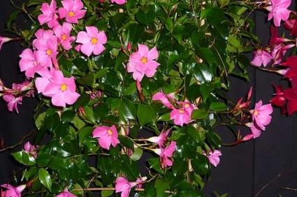 Cây hồng anh,cay hong anh,hồng anh,hong anh,Mandevilla sanderi,Apocynaceae,cây hoa,Hồng anh