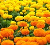 cúc vạn thọ,hoa cúc vạn thọ,cuc van tho,hoa cúc,hoa cuc,Tagetes patula,Tagetes erecta,Cúc Vạn Thọ