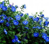 hoa thanh tú,hoa thanh tu,thanh tú,evolvulus glomeratus,Convolvulaceae,bìm bìm,Hoa Thanh tú