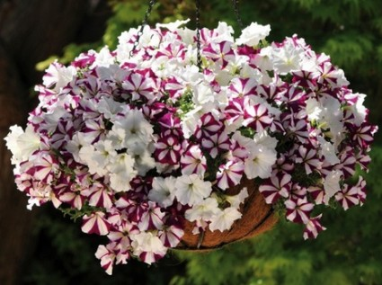 Dạ yến thảo,da yen thao,Petunia Hybrida,Dạ yến thảo
