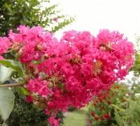 cây tường vi,cay tuong vi,hoa tường vi,hoa tuong vi,dã tường vi,tường vi,tuong vi,tầm xuân nhiều hoa,tam xuan nhieu hoa,hồng nhiều hoa,tường vi Nhật,hoa tường vi hồng,hoa tường vi vàng,Rosa multiflora,Lagerstroemia indica Linn,ý nghĩa hoa tường vi,Cây Tường Vi