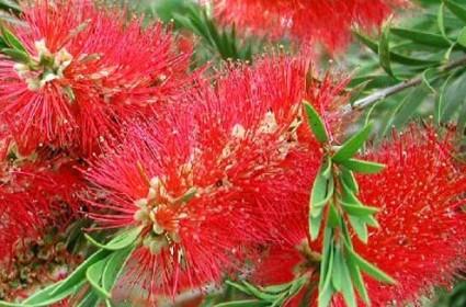 tràm bông đỏ,tram bong do,tràm liễu,tram lieu,liễu hoa đỏ,lieu hoa do,cây liễu,Callistemon citrinus,họ Trâm,Myrtaceae,Tràm bông đỏ - tràm liễu