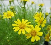 Hoa cúc sao băng,cúc sao băng,cuc sao bang,hoa sao bang,hoa cúc,Shooting Star,Asteraceae,Hoa cúc sao băng