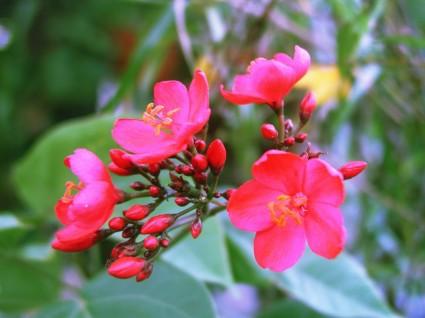 Mai tứ quý,mai tu quy,nhị độ mai,nhi do mai,mai nở hai lần,hoa mai,cây mai,cây ngày Tết,cây bonsai,cây chuột Mickey,Mickey-mouse plants,Ochna serrulata,Ochna,Ochnaceae,Ochna atropurpurea,Ochna atropurpurea DC,Ochna integerrima,Mai tứ quý