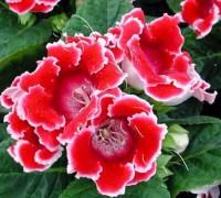 Hoa tử la lan,hoa tu la lan,tử la lan,hoa chuông tình yêu,chuong tinh yeu,hoa tinh yeu,valentine,hoa thánh,hoa mõm chó biển,đại nhâm đồng,hồng xiêm,phú quý,Sinningia speciosa,Gloxinia speciosa,Hoa tử la lan - chuông tình yêu