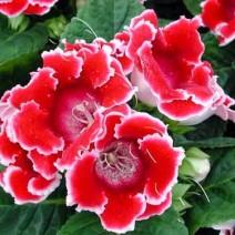 Hoa tử la lan - chuông tình yêu