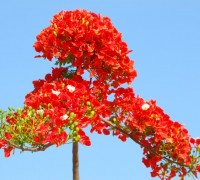 Phượng vĩ,phuong vi,phượng vỹ,cây phượng vĩ,cây phượng,phượng,hoa phượng,hoa phượng đỏ,hoa học trò,cây xoan tây,điệp tây,Delonix regia,Fabaceae,phượng hoàng mộc,kim hoàng,Flamboyant,Royal poinciana,Mohur tree,thành phố hoa phượng đỏ,Hải Phòng,Phượng vĩ