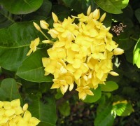 Hoa trang vàng,hoa trang vàng,hoa trang,trang vàng,hoa mẫu đơn,Hoa trang vàng