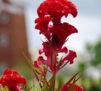 hoa mào gà,hoa mao ga,cây mào gà,kê quan hoa,cây kê đầu,cây mồng gà,Celosia cristata,Celosia,sự tích hoa mào gà,ý nghĩa hoa mào gà,Hoa Mào Gà