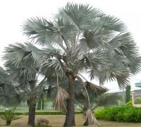 Cây kè bạc,cay ke bac,kè bạc,ke bac,họ cau,Bismarckia nobilis,cây ngoại thất,Cây kè bạc