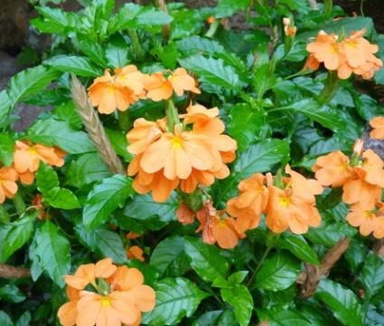 Cây kim đồng cam,kim đồng cam,kim dong cam,cây hỏa hoàng,cây kim đồng,kim đồng,Crossandra infundibuliformis,Crossandra undulaefolia,Crossandra undulaefolia Salisb,Acanthaceae,Cây kim đồng cam
